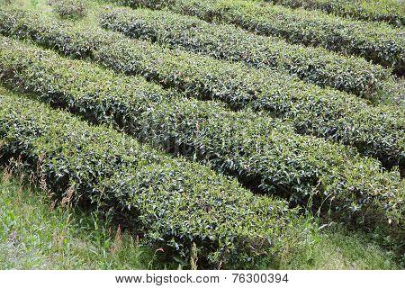 Tea Field In Japan