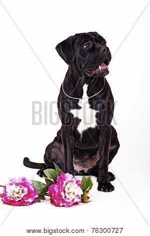 dog breed cane Corso on white background