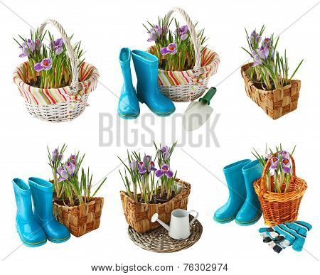Set Crocus Blooming In The Basket Isolated