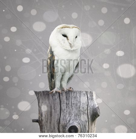Barn Owl With Snow