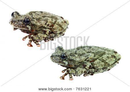Cope's Gray Treefrogs