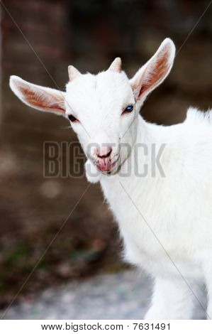 Goat With Blue Eyes