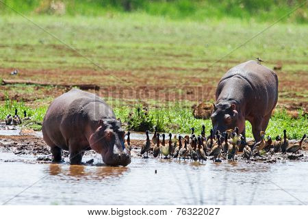Hippos in Serengeti national park in Tanzania