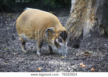 Red River Hog.