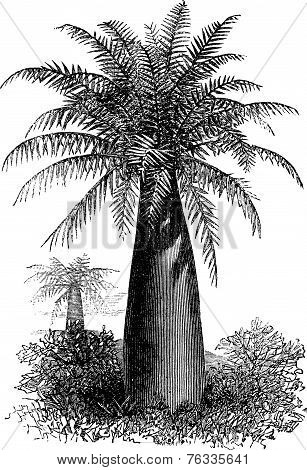 Chilean Wine Palm Or Jubaea Chilensis, Vintage Engraving