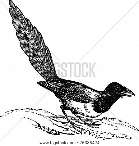 Black-billed Magpie (pica Hudsonia), Vintage Engraving.