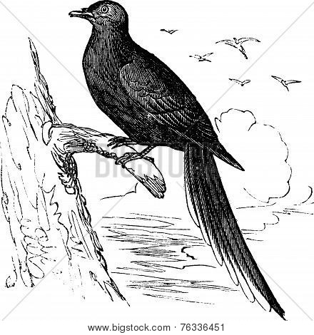 Passenger Pigeon Or Wild Pigeon (ectopistes Migratorius), Vintage Engraving.