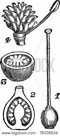 Various Parts Of Pistils, Vintage Engraving.