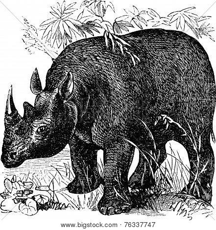 Black Rhinoceros Or Diceros Bicornis Vintage Engraving