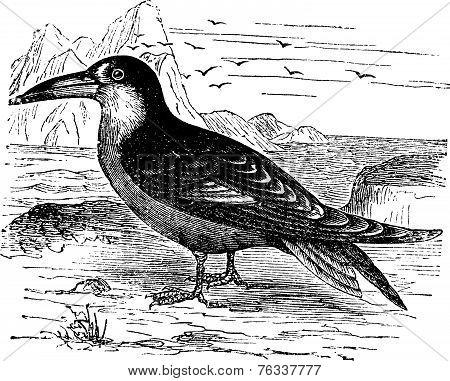 Black Skimmer Or Rynchops Niger Vintage Engraving