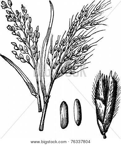 Asian Rice Or Oryza Sativa Vintage Engraving