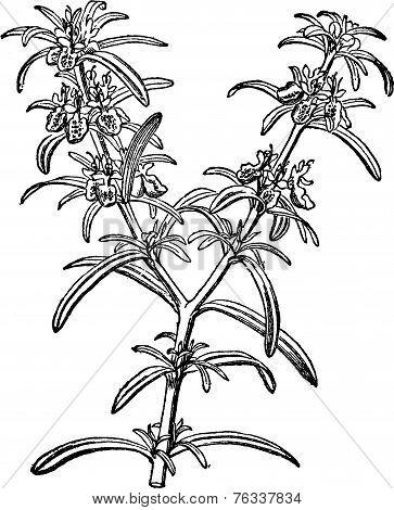 Rosemary Or Rosmarinus Officinalis Vintage Engraving