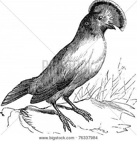 Guianan Cock-of-the-rock Or Rupicola Rupicola Vintage Engraving