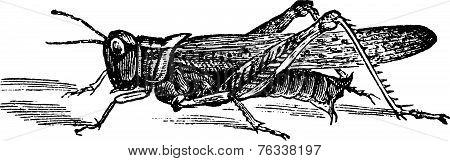 Rocky Mountain Locust Or Melanoplus Spretus Vintage Engraving