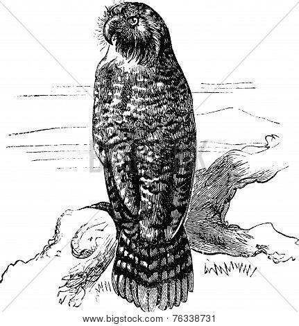 Kakapo Or Strigops Habroptila Vintage Engraving
