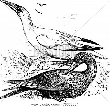Adult And Immature Northern Gannets Or Morus Bassanus