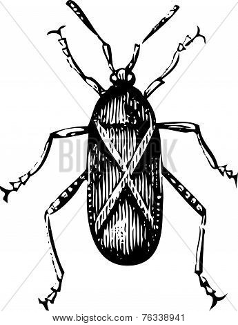 Old Illustration Of A Squash Bug Or Coreus Tristis