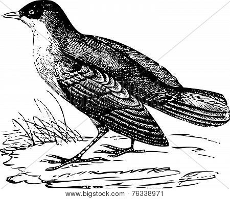 White-throated Dipper Old Engraving