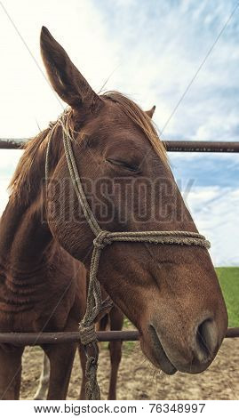 Funny Portrait Od Brown Mare Horse In Paddock