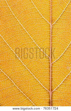 Macro shot of the lamina of a tree leaf turning from orange into a light brown. Midrib and veins clearly visible. No vignetting or Bokeh.