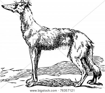 Saluki Or Borzoi Dog Engraving