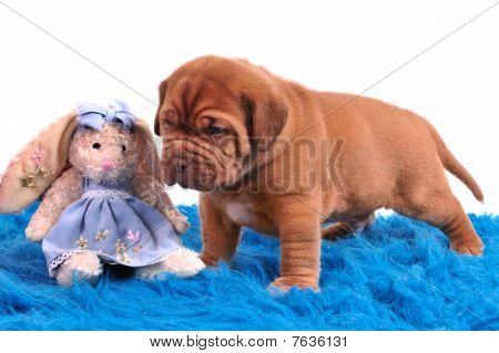 One Month Old Dogue De Bordeaux Puppy Is Standing On A Blue Carpet