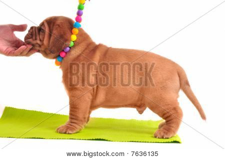 One Month Old Dogue De Bordeaux Puppy Is Standing On A Yellow Carpet