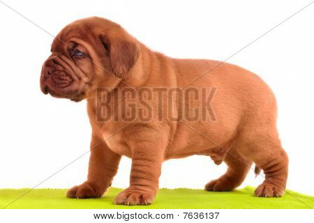 Dogue De Bordeaux Puppy Is Standing On A Yellow Carpet