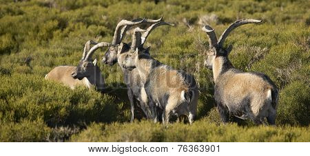 Mountain Goat Herd In The Countryside
