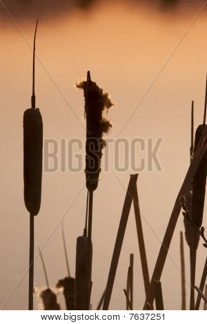 Silhouette Of Cattails