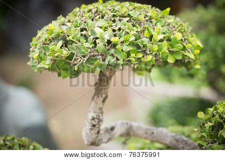 Bonsai Bush. Green Tree In A Park.