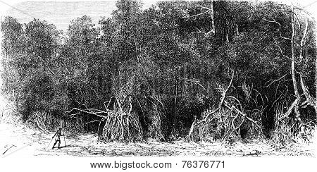 Mangroves Equatorial Rivers, Vintage Engraving.