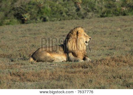 Male Lion Sitting In A Field