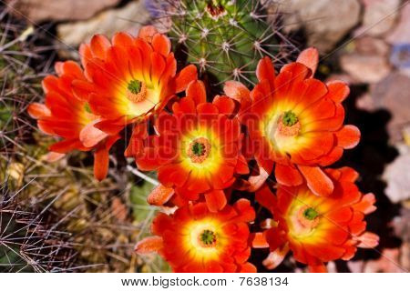 Blossoming Flower On A Prickly Cactus