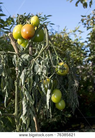 Ripening tomatoes outdoors