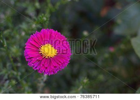 Pink aster flower