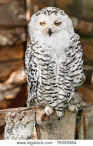 North Owl.