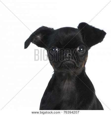 brussels griffon puppy looking at viewer on white background