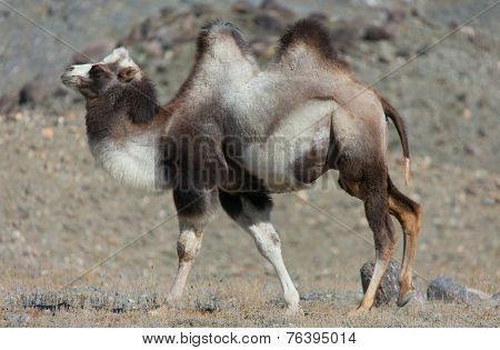 Bactrian Camel On The Background Of Mountains