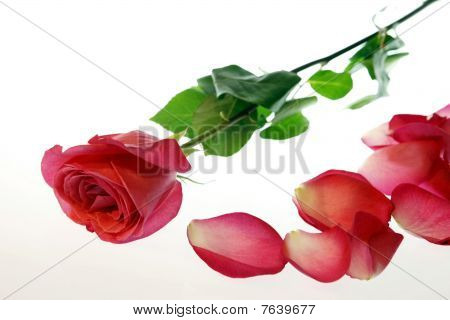 Rose With Petals Scattered
