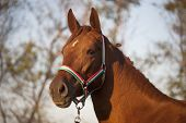 picture of thoroughbred  - Thoroughbred Mare Horse Head Shot Side View Summertime