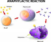 picture of red-blood-cell  - Mechanism of allergy - JPG