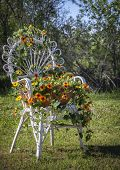 pic of black-eyed susans  - Wicker high back chair with climbing black eyed Susan vine or thunbergia - JPG