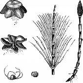 stock photo of horsetail  - Field Horsetail or Equisetum arvense or Common Horsetail vintage engraving - JPG