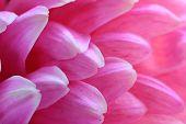 pic of chrysanthemum  - Chrysanthemum flower - JPG