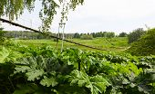 picture of parsnips  - Pedestrian suspension bridge of steel and wood over the river and poisonous plant cow parsnip, summer in Russia