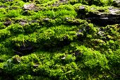 stock photo of grown up  - Close up of old tree bark with green moss - JPG