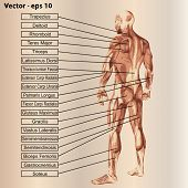 foto of triceps brachii  - Vector concept or conceptual 3D male or human anatomy - JPG