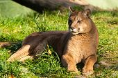 foto of cougar  - Beautyfull female fierce cougar laying in grass - JPG