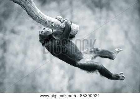 Climbing Chimp